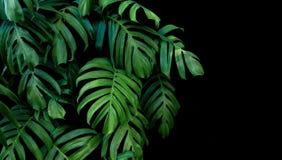 Zieleń liście Monstera zasadzają dorośnięcie w dzikim tropikalny dla Zdjęcie Royalty Free