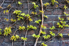 Zieleń liście na cegły tle Fotografia Stock