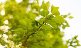 Zieleń liście na drzewie w wiośnie Zdjęcie Royalty Free
