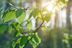 Zieleń liście na zielonych tło Obraz Stock