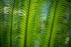 Zieleń liście od daktylowego drzewa obraz royalty free