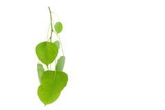 Zieleń liście odizolowywający na białym tle, kopii przestrzeń dla teksta Zdjęcia Stock