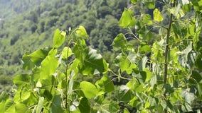 Zieleń liście osikowi drzewa także znać jako topola w wiosna sezonie zdjęcie wideo