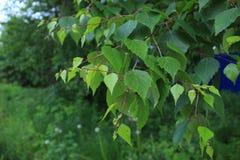 Zieleń liście po deszczu w Perm Zdjęcie Stock