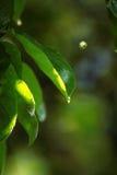 Zieleń liście pod lato deszczem Fotografia Royalty Free