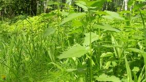 Zieleń liście pokrzywa w miasto parku Trawa i ziele w wsi Flory w wiośnie Krótkopęd na suwaku zbiory wideo