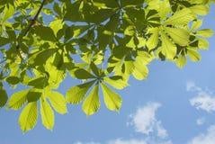 Zieleń liście przeciw niebieskiemu niebu Zdjęcia Stock