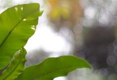 Zieleń liście ptasi ` s gniazdują paproci fotografia royalty free