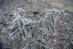 Zieleń liście roślina zakrywająca z zima ranku mrozem Fotografia Stock