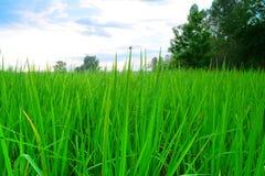 zieleń liście ryż z wody niebem i kroplą Fotografia Royalty Free