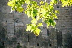 Zieleń liście, stary kasztel w tle Zdjęcia Stock