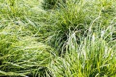 Zieleń liście trawy tło Obraz Royalty Free