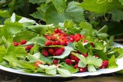 Zieleń liście truskawki i czerwone dojrzałe truskawkowe jagody na białym talerzu w letnim dniu outdoors Zdjęcia Royalty Free