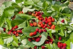 Zieleń liście truskawki i czerwone dojrzałe truskawkowe jagody na białym talerzu w letnim dniu outdoors Obrazy Royalty Free