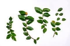Zieleń liście umieszczający na białym tle obraz stock