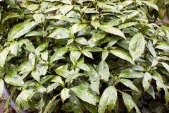 Zieleń liście w naturalnym środowisku obrazy royalty free