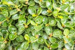 Zieleń liście w ogródzie Fotografia Stock