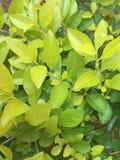 Zieleń liście w ogródzie Zdjęcie Royalty Free