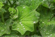 Zieleń liście w raindrops Zdjęcia Stock