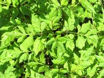 Zieleń liście z światłem słonecznym Obraz Royalty Free