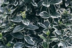 Zieleń liście z białą krawędzią obraz stock