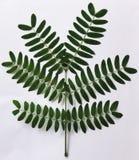 Zieleń liście z naturalnym spojrzeniem doskonalić zdjęcia royalty free