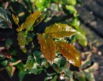 Zieleń liście z raindrops na naturalnym tle obraz royalty free