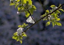 Zieleń liście zakrywający z śniegiem zdjęcia royalty free