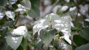 Zieleń liście zakrywający z śniegiem zdjęcie wideo