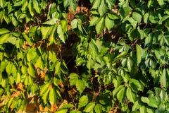Zieleń, naturalny, deciduous tło odurzać, rozgałęzia się Zaświecający ciepłym żółtym światłem zdjęcia stock
