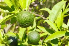 Zieleń, niedojrzała mandarynka na gałąź w naturalnych warunkach zdjęcia stock
