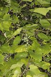 Zieleń, niedojrzały winogrono zdjęcia stock