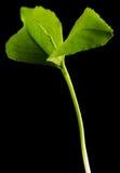 zieleń odizolowywająca flanca Zdjęcia Stock