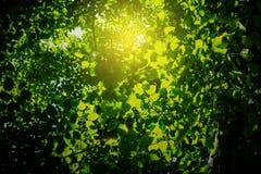 zieleń opuszczać światło słoneczne Zdjęcia Royalty Free