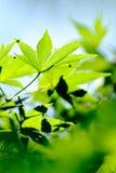 zieleń opuszczać klonu Fotografia Stock