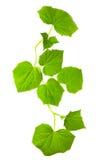 zieleń opuszczać potomstwa Zdjęcie Royalty Free