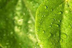 zieleń opuszczać raindrops Fotografia Royalty Free