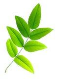 zieleń opuszczać siedem Obraz Royalty Free