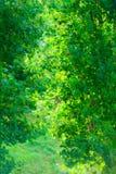 Zieleń opuszcza drzewnego krzaka plenerowy Natury tekstury tło Zdjęcia Stock