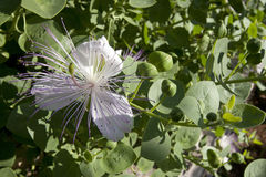 Zieleń opuszcza i pączkuje kapary z białym kwiatem fotografia royalty free
