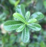 Zieleń opuszcza tło, Zielony liść obrazy royalty free