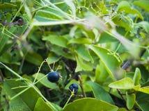 Zieleń opuszcza teksturę Piękni zieleń liście, zieleni deseniowy tło - wizerunek zdjęcie stock