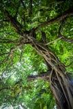 Zieleń opuszcza teksturę piękny zielony drzewo Fotografia Stock