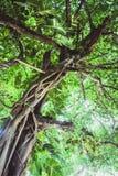 Zieleń opuszcza teksturę piękny zielony drzewo Obrazy Stock