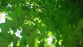 Zieleń opuszcza z pięknym obiektywu racą przeciw słońca światłu i słońce zdjęcie wideo