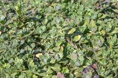 Zieleń opuszcza, zbliżenie, natury lata lasu pojęcie Tło zielonej trawy mata zdjęcie royalty free