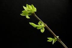 Zieleń pączki lila roślina Zdjęcie Royalty Free