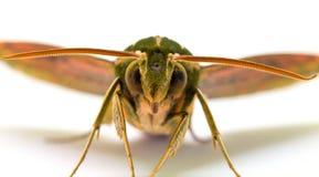 Zieleń paskował jastrzębia ćma z otwartych skrzydeł makro- fotografią Dorosłego Sphingidae studia motyli strzał Obrazy Royalty Free