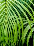 Zieleń pinnately dwuczłonowych liści Palmowy liść fotografia royalty free