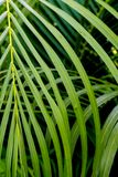 Zieleń pinnately dwuczłonowych liści Palmowy liść obrazy royalty free